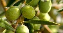 ワインの次はオリーブオイル!-olives2