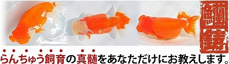 らんちゅう飼育方法@山田芳人の稚魚の育て方ブログ