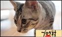 猫 暦 マンチカン-ブログ村