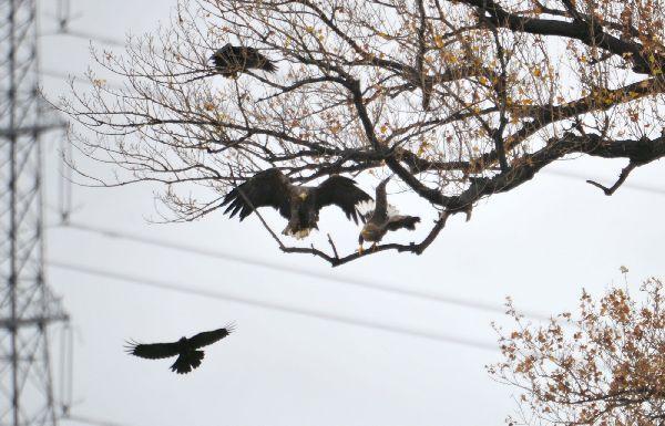 北海道の野生動植物写真-オジロワシ