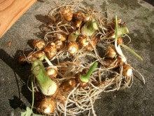 はなさかおやじの花と菜園のブログ-里芋
