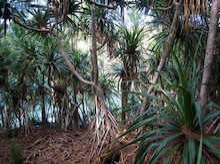 小笠原父島エコツアー情報    エコツーリズムの島        小笠原の旅情報と父島の自然-タコ林