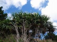 小笠原父島エコツアー情報    エコツーリズムの島        小笠原の旅情報と父島の自然-タコノキ