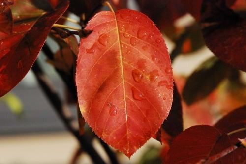 志度・路・戻ろ-ジューンベリーの紅葉