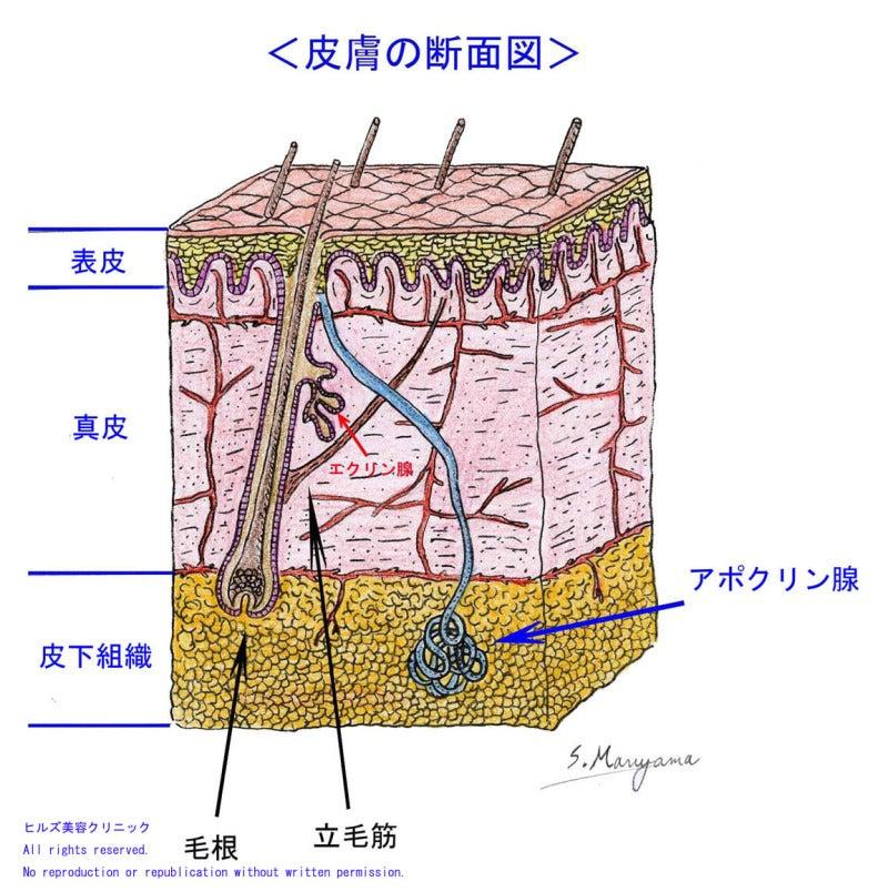 「コリース筋膜」 「095B078」 「皮膚の構造」 「広頚筋」 「カンパー筋膜」 「スカルパ筋膜」 「浅筋膜」 「伝染性皮下組織造血器壊死症ウイルス」 「皮下組織感染症」 「皮下組織膿瘍」 「組織」 「皮下」