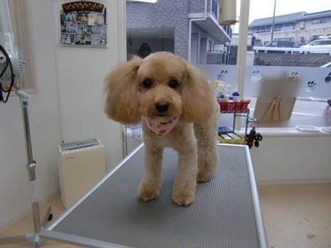 犬の美容室ゆうちゃんのブログ|愛知県豊明市-チョコちゃん