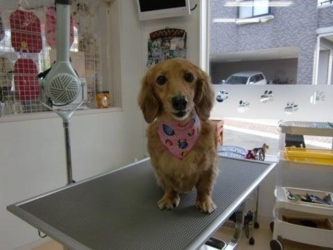 犬の美容室ゆうちゃんのブログ|愛知県豊明市-ゆきちゃん