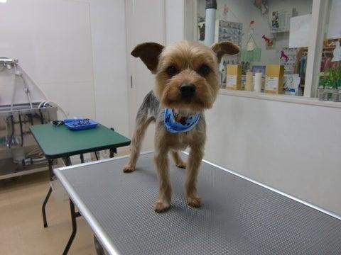 犬の美容室ゆうちゃんのブログ|愛知県豊明市-ピースちゃん
