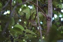 小笠原父島エコツアー情報    エコツーリズムの島        小笠原の旅情報と父島の自然-ウグイス