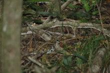 小笠原父島エコツアー情報    エコツーリズムの島        小笠原の旅情報と父島の自然-トラツグミ