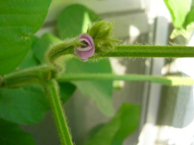 大好き☆ベランダ菜園-丹波黒豆の花
