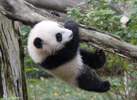 木にぶら下がる赤ちゃんパンダ
