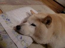 $柴犬メグ11歳と4ヶ月