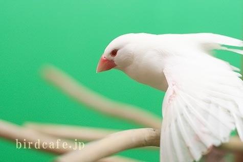 ようこそ!とりみカフェ!!~鳥の写真や鳥カフェでの出来事~-アルビノ文鳥