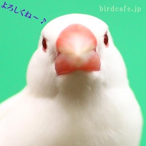 ようこそ!とりみカフェ!!~鳥の写真や鳥カフェでの出来事~-アルビノ文鳥の「ピーちゃん」