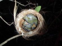 小笠原父島エコツアー情報    エコツーリズムの島        小笠原の旅情報と父島の自然-メジロ