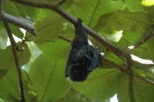 小笠原父島エコツアー情報    エコツーリズムの島        小笠原の旅情報と父島の自然-コウモリ