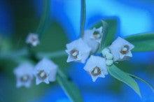小笠原父島エコツアー情報    エコツーリズムの島        小笠原の旅情報と父島の自然-シャシャンボウ