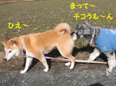 柴犬のチコ。