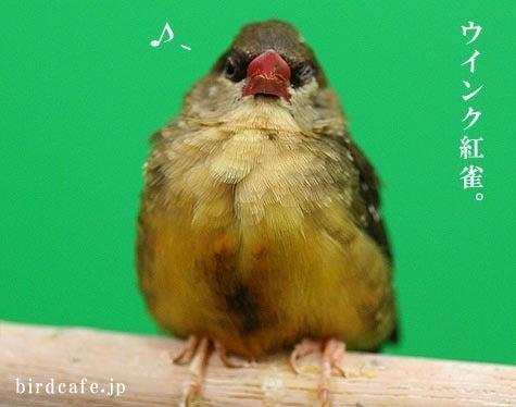 ようこそ!とりみカフェ!!~鳥の写真や鳥カフェでの出来事~-ウインクベニスズメ