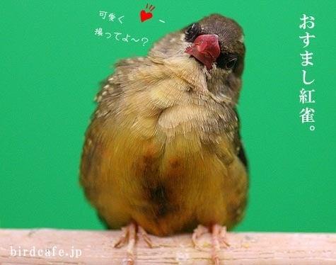 ようこそ!とりみカフェ!!~鳥の写真や鳥カフェでの出来事~-おすましベニスズメ