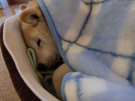 $柴犬メグ11歳と5ヶ月