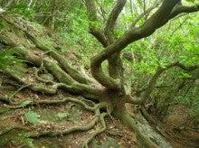 小笠原父島エコツアー情報    エコツーリズムの島        小笠原の旅情報と父島の自然-ツバキ