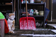 スコ猫くまきち日和+-雪やどり