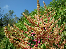 小笠原父島エコツアー情報    エコツーリズムの島        小笠原の旅情報と父島の自然-マンゴーの花