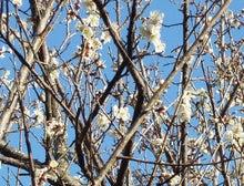 老人とブログの海-梅の花
