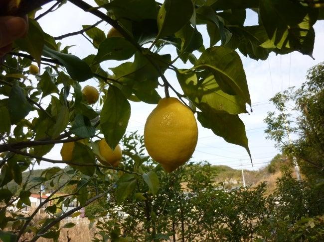 いろりや9640ブログ~高知県黒潮町LOVEな毎日をお届け~-いろりやのレモン