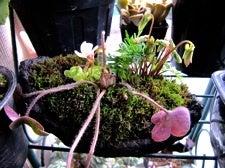 ベランダのLovers-山野草盆栽