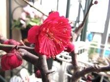 ベランダのLovers-梅開花