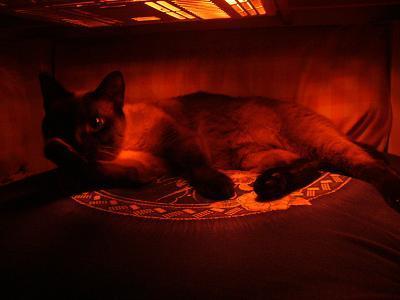 南米で日本犬を探そう! ~ブラジル・サンパウロに暮らす~-猫はコタツで