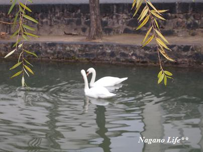 Nagano Life**-白鳥