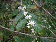 小笠原エコツアー 父島エコツアー         小笠原の旅情報と小笠原の自然を紹介します-コーヒーの花