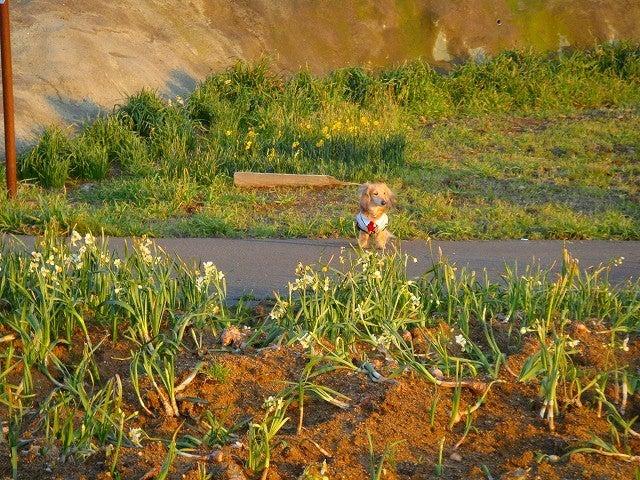 旅犬Lanileaのほほん風船記-水仙の里