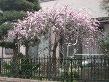 スローライフ日記 (癌との闘病日記はもうすぐ終わりにします)-庭のしだれ梅