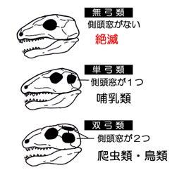川崎悟司 オフィシャルブログ 古世界の住人 Powered by Ameba-羊膜類の頭骨