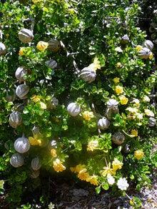 $楽園ハワイ通信 by Lani Tours-かぼちゃの木