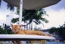 シンガポール猫