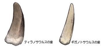 川崎悟司 オフィシャルブログ 古世界の住人 Powered by Ameba-ティラノサウルスとギガノトサウルスの歯