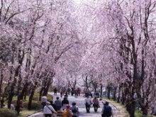 広島県 世羅町商工会-しだれ桜