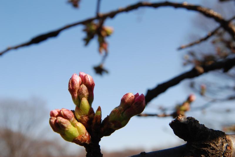 MEMORY-桜