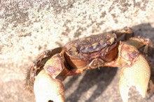 小笠原エコツアー 父島エコツアー         小笠原の旅情報と小笠原の自然を紹介します-クロベンケイガニ