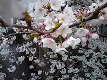 $t.o.p's blog-桜