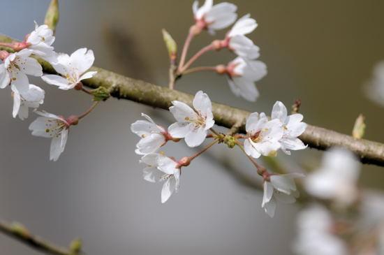 志度・路・戻ろ-桜