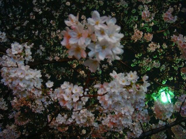 旅犬Lanileaのほほん風船記-夜桜