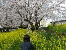 ひろしのブログ-岡崎桜まつり3