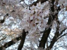 ひろしのブログ-岡崎桜まつり2